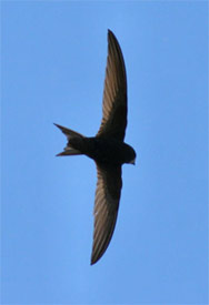 Picture of Breeding Bird (Swift)