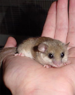 Picture of Dormouse